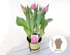 【1月にお届け鉢花】チューリップ 桃系の画像