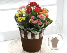 【10月お届け】カランコエ カランディーバ 5色植えの画像